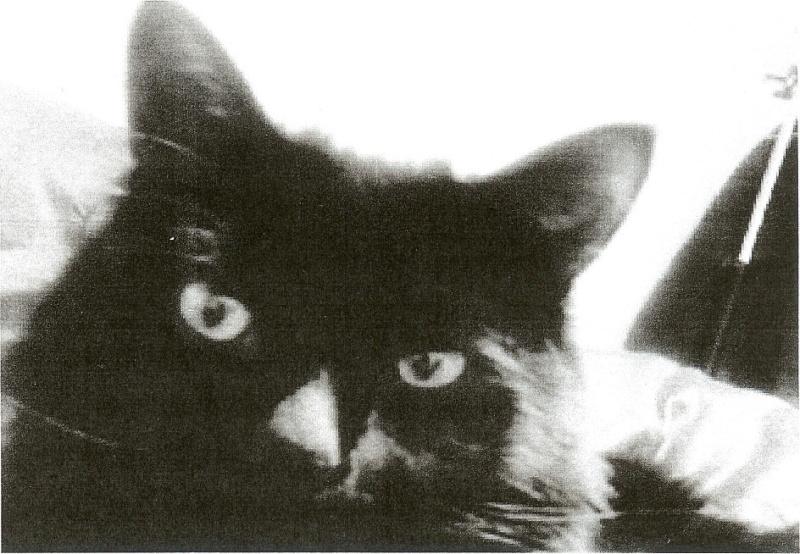 perdu à Colomiers, chat noir poils longs Perduc11