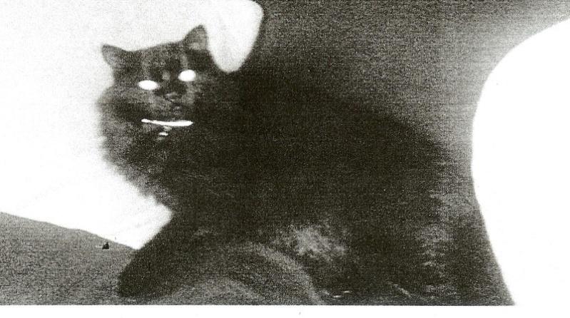 perdu à Colomiers, chat noir poils longs Perduc12