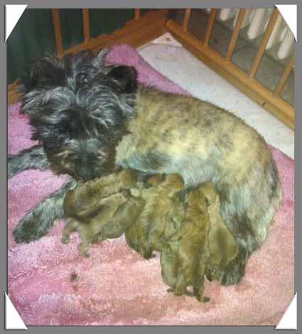 Alinka    cairn terrier 6_12_210