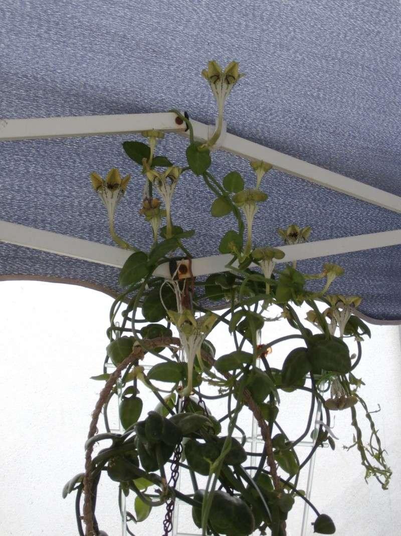Fleur de céropégia sandersonii P7290010