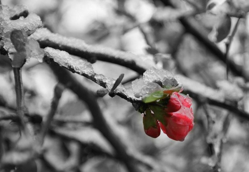 Fleur glacée Img_2110