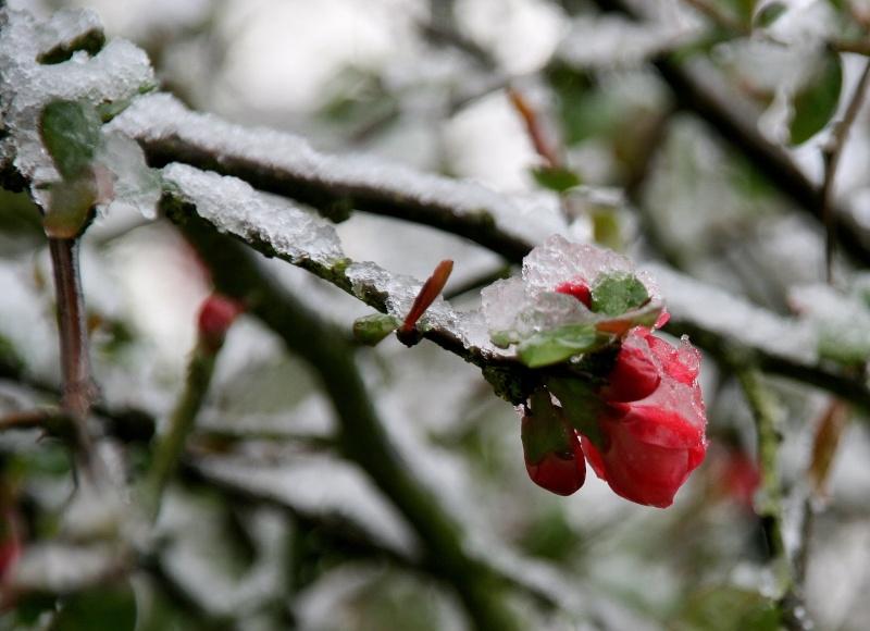 Fleur glacée Img_2111