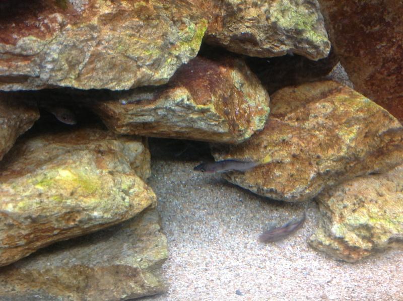 Cyprichromis leptosoma mpulungu déformé Image19