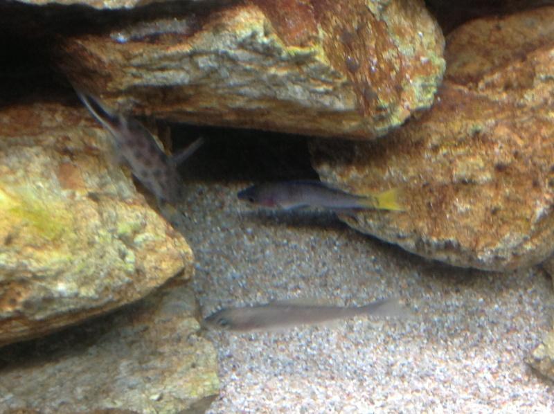Cyprichromis leptosoma mpulungu déformé Image21