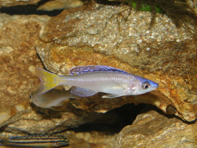 Aquarium 450 litres Tanganika - Mick85 P3039122