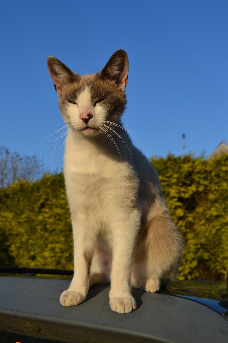 Chaton mordeur et syndrome du chat tigre Dsc_0012