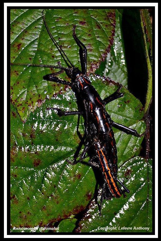 Anisomorpha paromalus  (psg 122) Anisom10