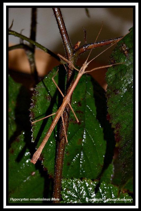 Hypocyrtus ornatissimus  (P.S.G n°307) Hypocy23