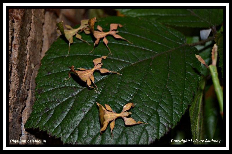 Phyllium celebicum Sulawesi (psg ???) Phylli10