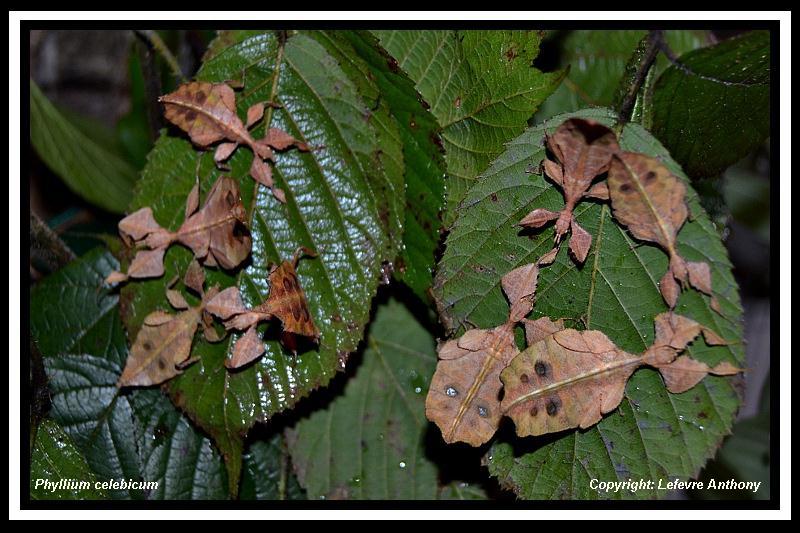 Phyllium celebicum Sulawesi (psg ???) Phylli19