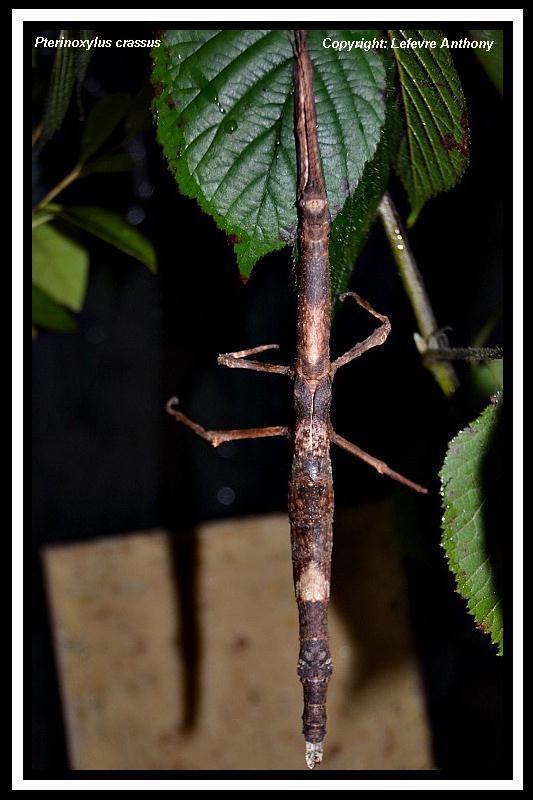 Pterinoxylus crassus (P.S.G. n°281) Pterin10