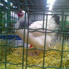 4eme poule 20081117