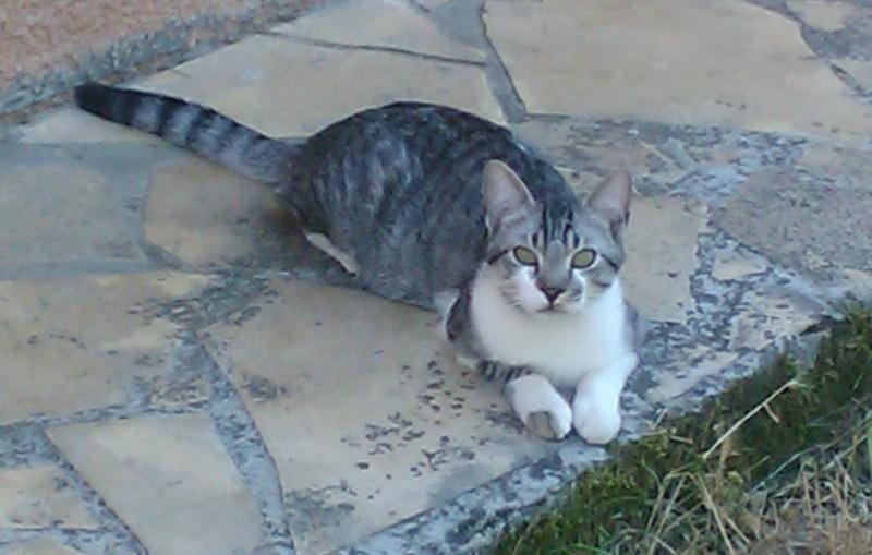 Perdu à Launaguet - chat tigré et balnc Wp_00010
