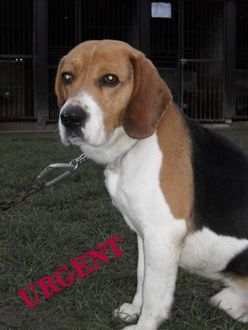 BOON, beagle mâle, 4 ans (Picardie) Adopté 1_500_17