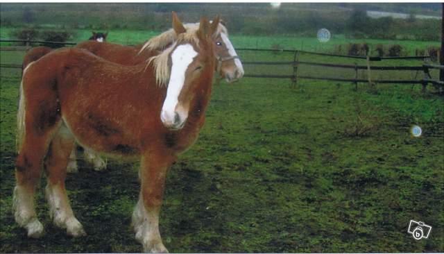 TEXAS - trait Boulonnais né en 2007 - adopté hors association en janvier 2009 12068510