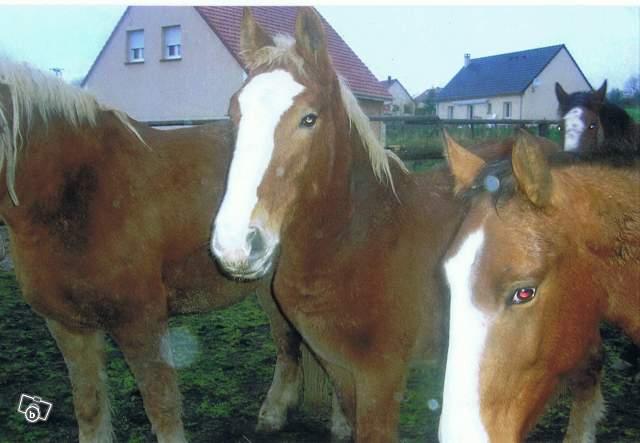 TEXAS - trait Boulonnais né en 2007 - adopté hors association en janvier 2009 12402410