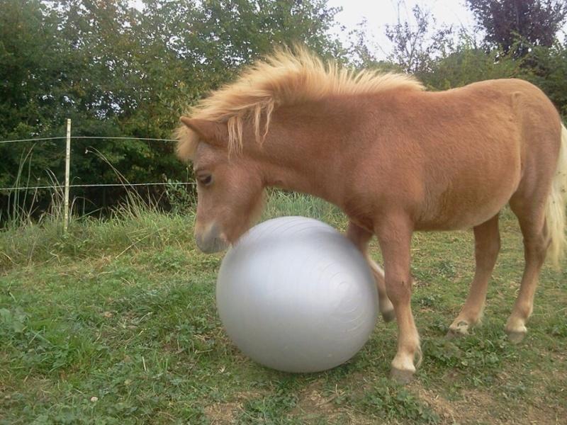 a réserver poney shetland 12380810