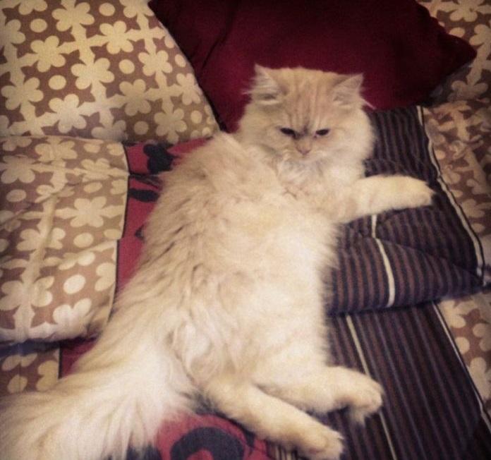 قطط شيرازي للبيع في قطر  S_thum14