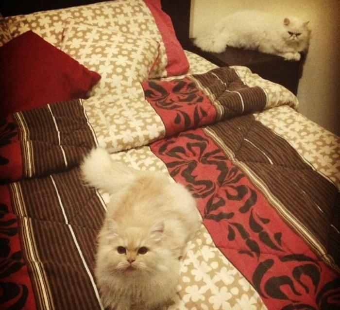 قطط شيرازي للبيع في قطر  S_thum16