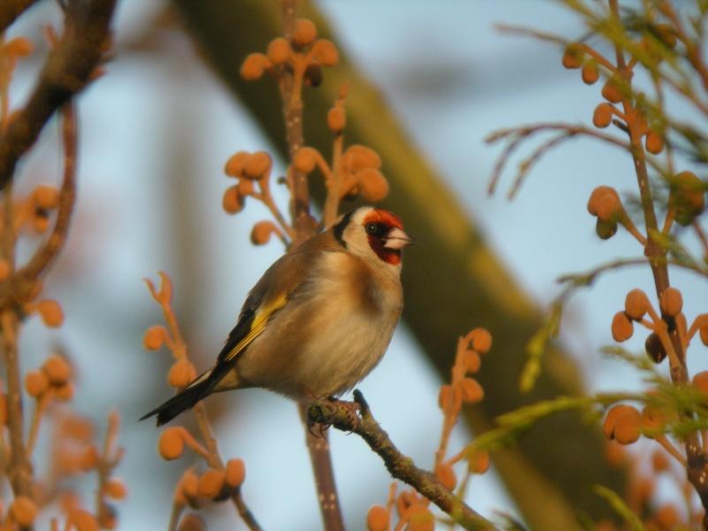 oiseau dans votre jardin? Dscn0411