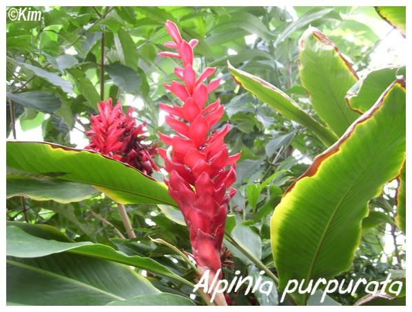 Alpinia purpurata ( Fiche ) Alpini10