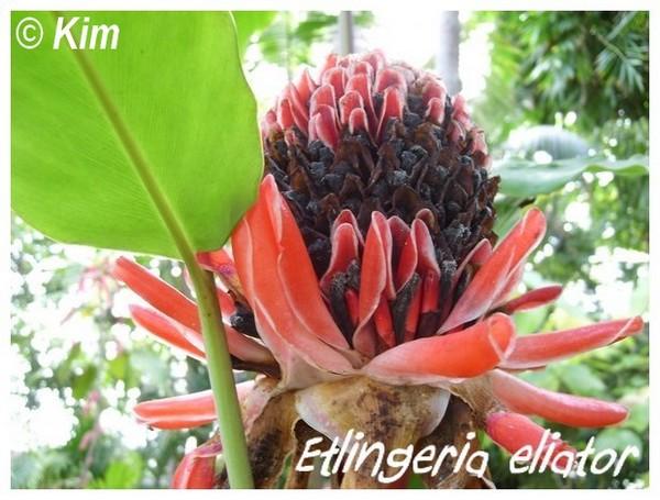 Etlingera elatior ( Fiche ) Etling10