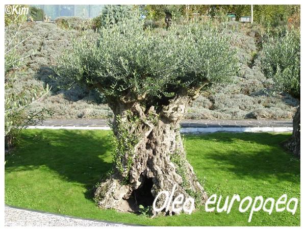 Olea europea ( Fiche ) Olea_e10