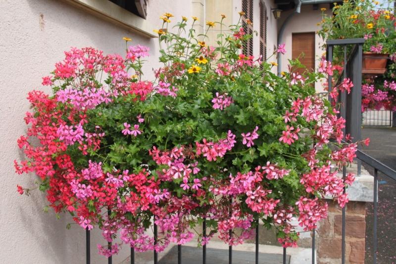 Fleurs de Wangen 2013 Img_9911