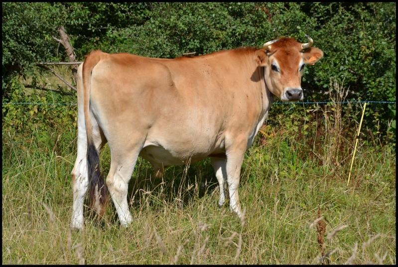 (50) Vache et boeuf jersiais - placés - Vaches10