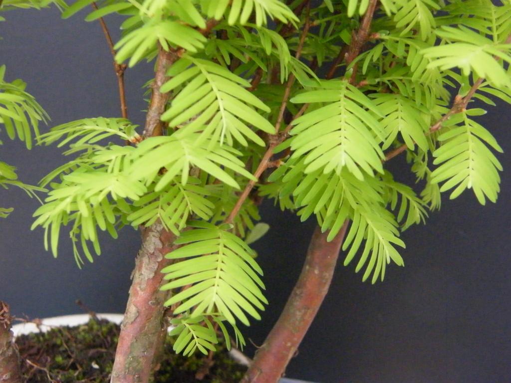 un bonsaï mais lequel?merci [Metasequoia glyptostroboides] Dscf7610