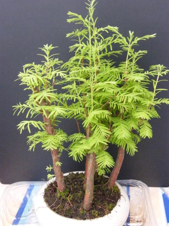 un bonsaï mais lequel?merci [Metasequoia glyptostroboides] Dscf7611