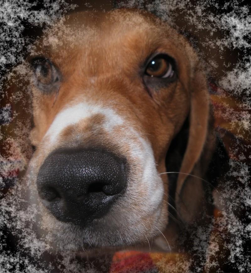 Recherche d'un covoiturage Vendée -> La Ferté-Bernard (72) pour DAISY, beagle femelle, 5 ans - Page 3 Daisy_10