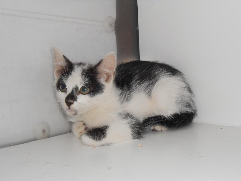 Olympus (chaton mâle européenne noir et blanc) Dscn0210