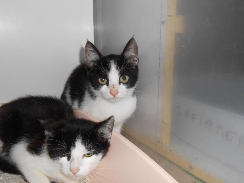 ALASKA (chaton mâle ou femelle noir et blanc) Dscn0337