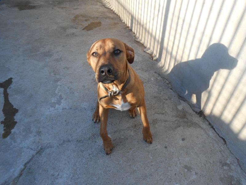 SKY (mâle croisé boxer/labrador) Dscn0422