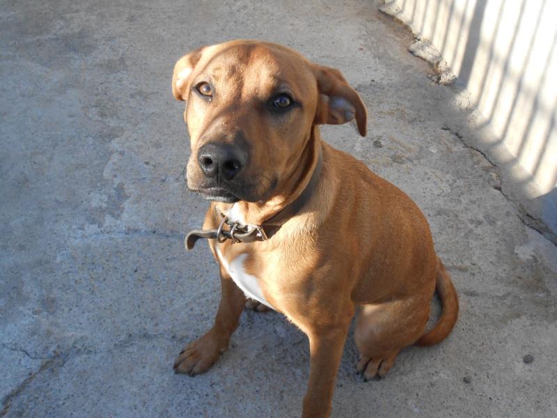 SKY (mâle croisé boxer/labrador) Dscn0423
