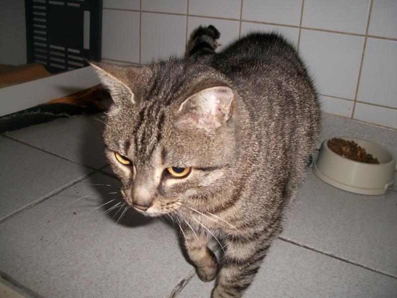 Trouvée à St Diery, chatte tigrée grise, Végane. Jack_022