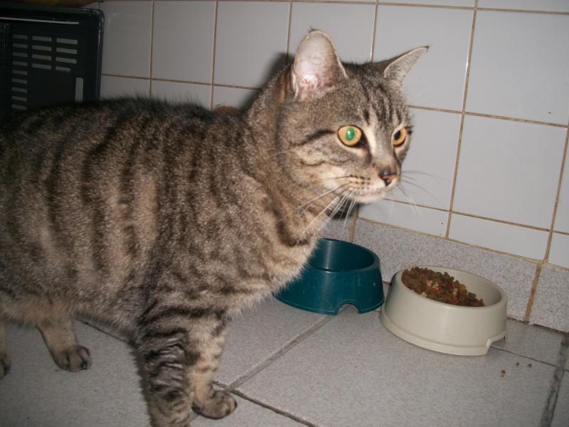 Trouvée à St Diery, chatte tigrée grise, Végane. Jack_023