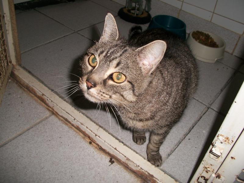 Trouvée à St Diery, chatte tigrée grise, Végane. Jack_024