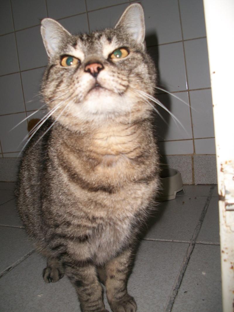 Trouvée à St Diery, chatte tigrée grise, Végane. Jack_025