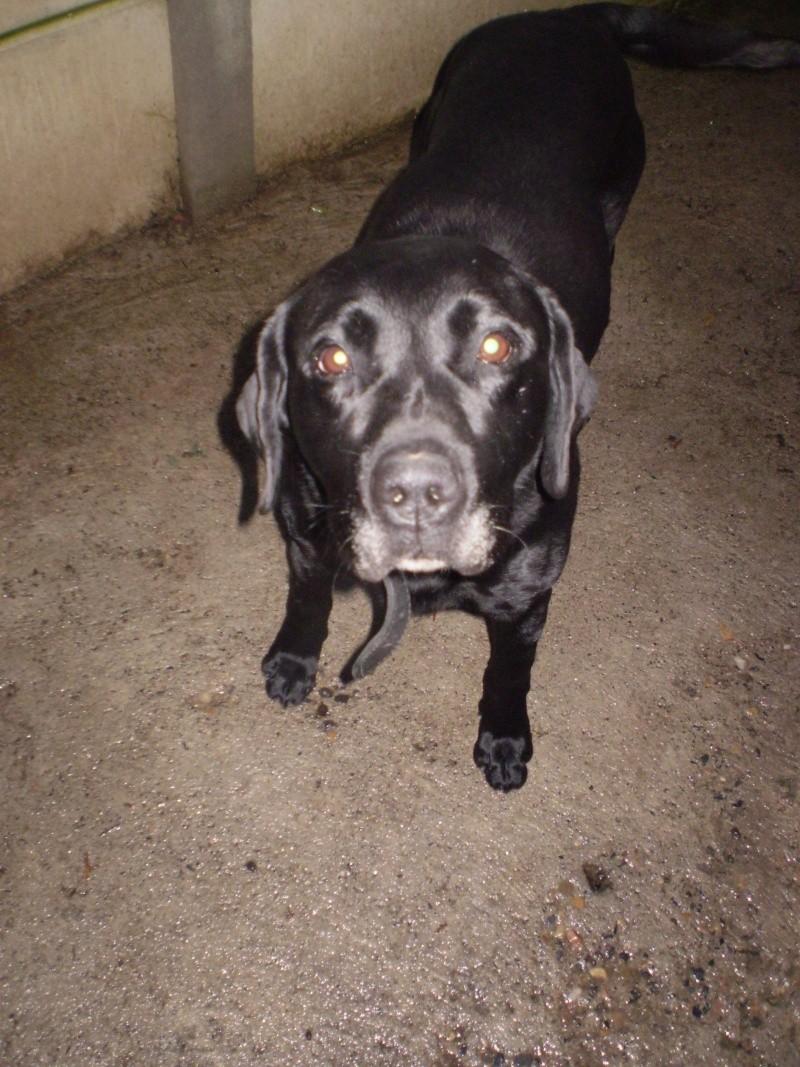 Trouvé à Vodable, le 31/12/08, chien labrador noir TINO Pc291411