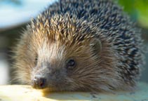 Young hedgehog rearing rate. 410