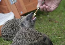 Young hedgehog rearing rate. Buffy-10