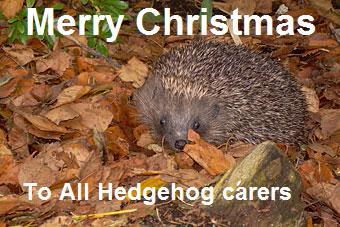 Merry Christmas Hedgehog Photo Conker11