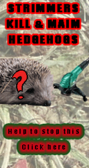Hedgehog With Ringworm Hed3410