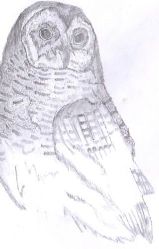 My Owl Drawing Owl10