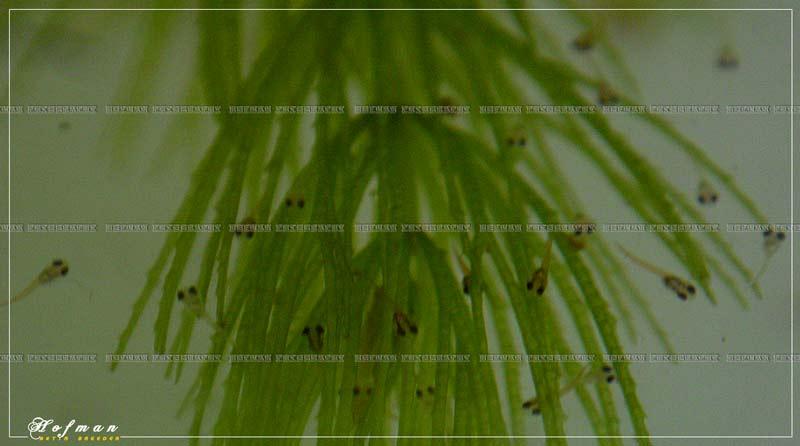 Mâle HM Salamander X femelle DT cambodge rouge  333910