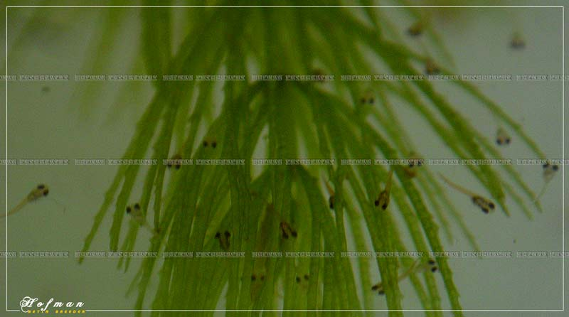 Mâle HM Salamander X femelle DT cambodge rouge 333911
