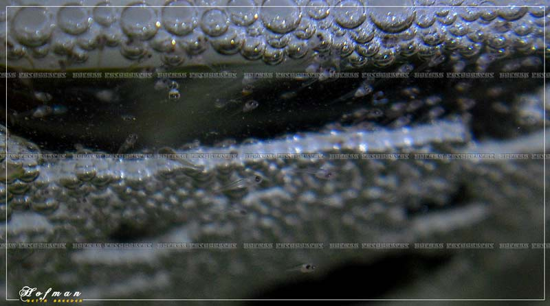 Mâle HM Salamander X femelle DT cambodge rouge  Cimg2710