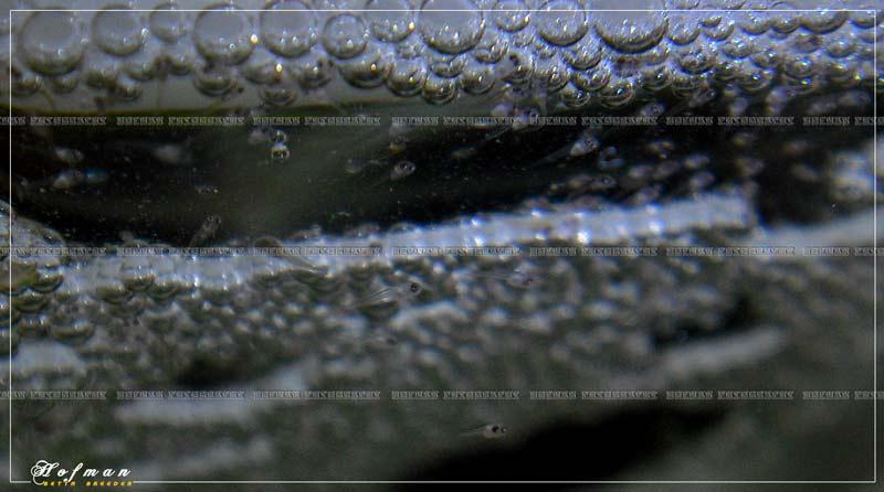 Mâle HM Salamander X femelle DT cambodge rouge Cimg2712